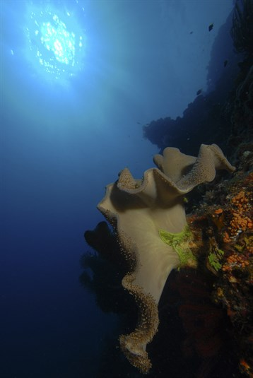 soft-coral-on-deep-pinnacle-haapai-tonga_8362-535x800px